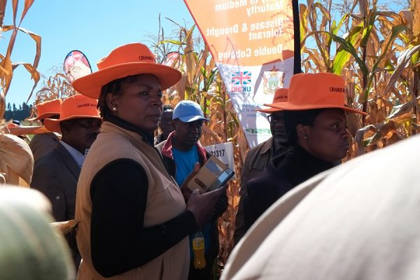 CIMMYT maize breeder Thoko Ndhlela shows food industry representatives the agronomic benefits of orange maize in the field. Photo: Matthew O'Leary/ CIMMYT