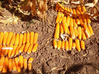 Two experimental lines of provitamin A-enriched orange maize, Zambia. Photo: CIMMYT.