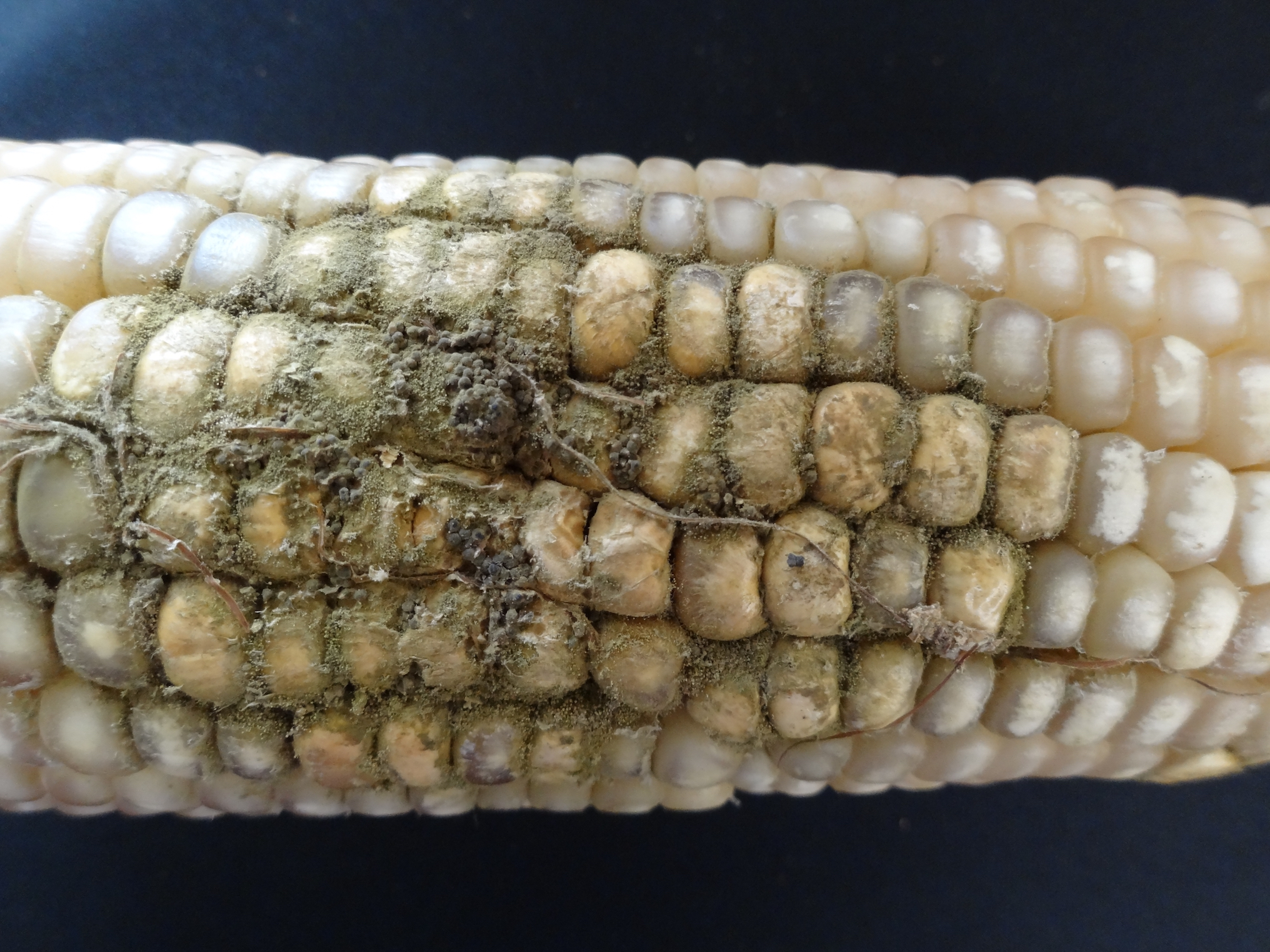 Maize ear infected with Aspergillus flavus. (Photo: Maize Pathology Laboratory/CIMMYT)