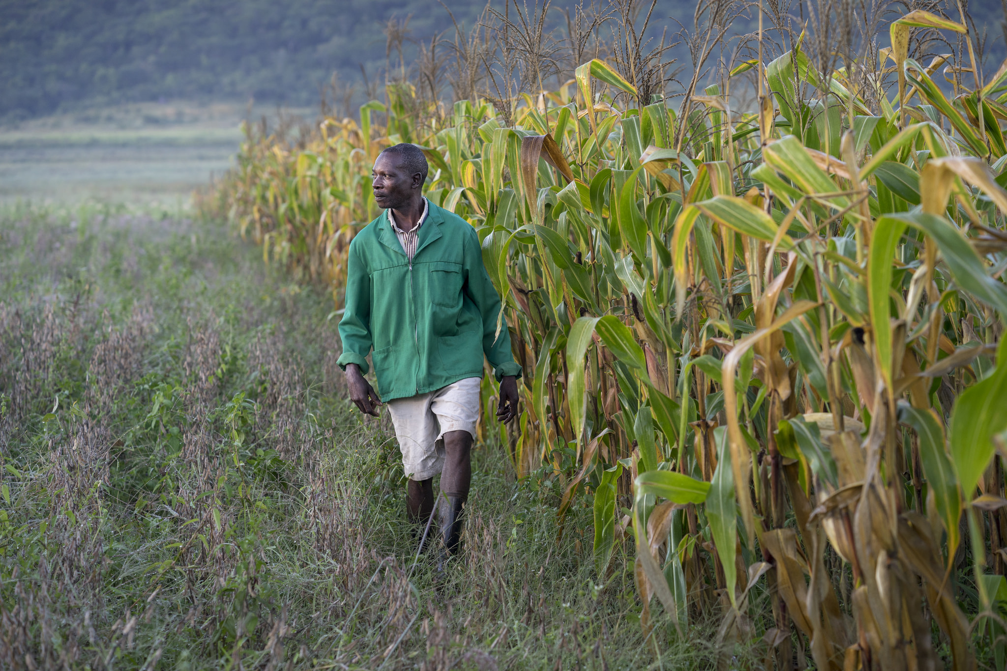 Lead farmer Elphas Chinyanga inspecting conservation agriculture plots (Photo: CIMMYT)