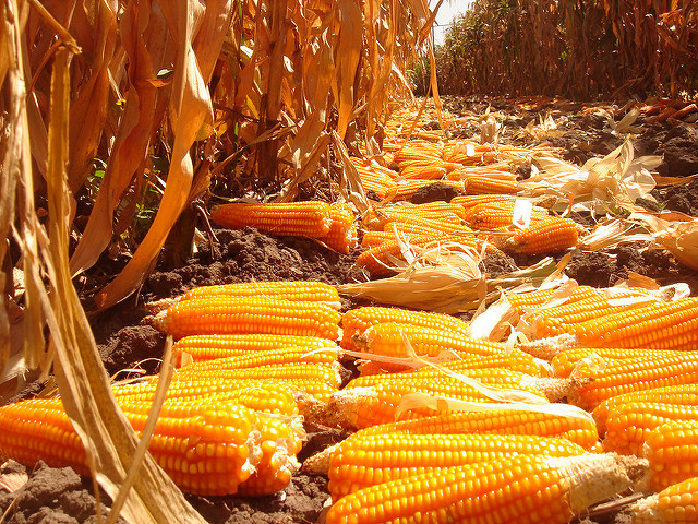 Ears of orange maize lines following harvesting, on experimental plots at the Zambia Agriculture Research Institute (ZARI). This maize is orange because it contains high levels of beta-carotene, the same substance that give carrots their color. Beta-carotene is a provitamin, and is converted to vitamin A within the human body.