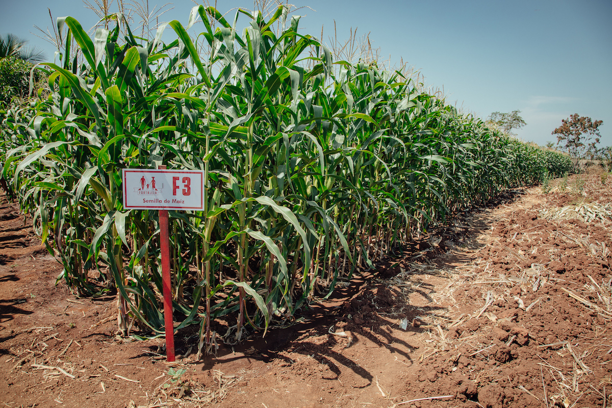A maize plot of the Fortaleza F3 variety in Guatemala.