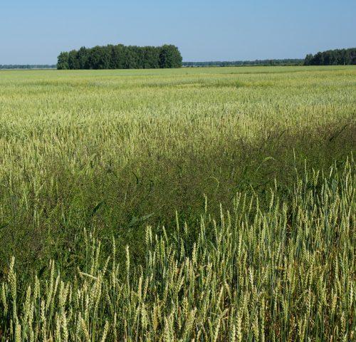 A wheat crop in northern Kazakhstan. (Photo: Alexey Morgounov/CIMMYT)