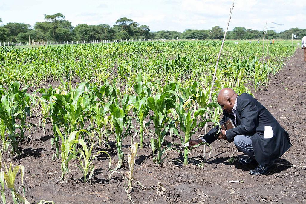 Maize plants at the MLN Screening Facility in Naivasha, Kenya. (Photo: Florence Sipalla/CIMMYT)